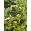 Jasmine Flower Green Tea  - Trà Hoa Nhài
