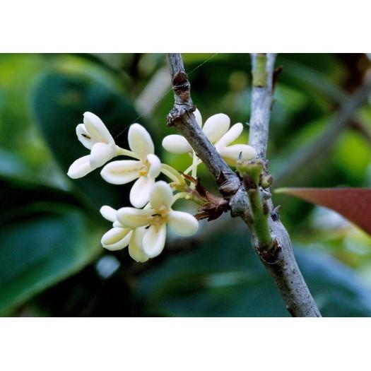 Moc Flower Green Tea  - Trà Hoa Mộc