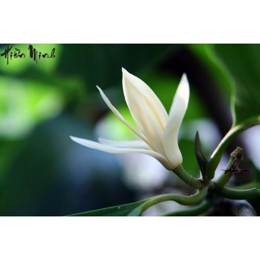 Ngoc Lan Flower Green Tea - Ngọc Lan Trà